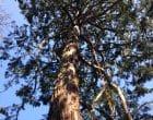 Taille d'un séquoia à Villers Bocage