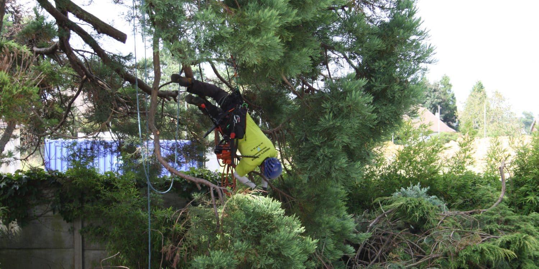 Taille de séquoia bout de branche