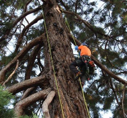 Taille de Séquoia a Amfreville  Calvados (14)