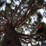 Taille Séquoia vue du dessous calvados